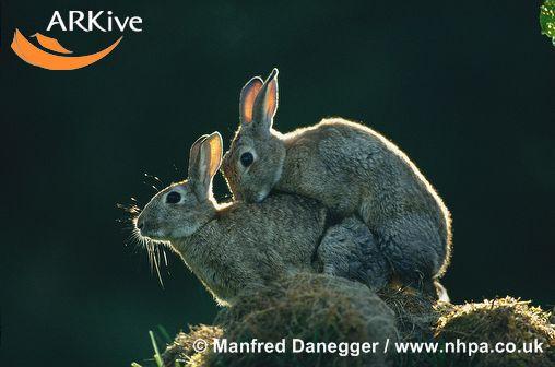 Rabbits_mating